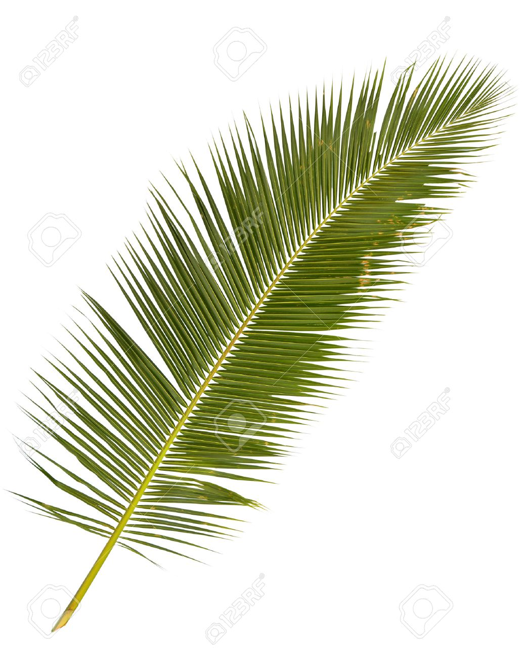 Palm Tree Leaves Isolated On White Backgroud Stock Photo Picture And Royalty Free Image Image 35557095