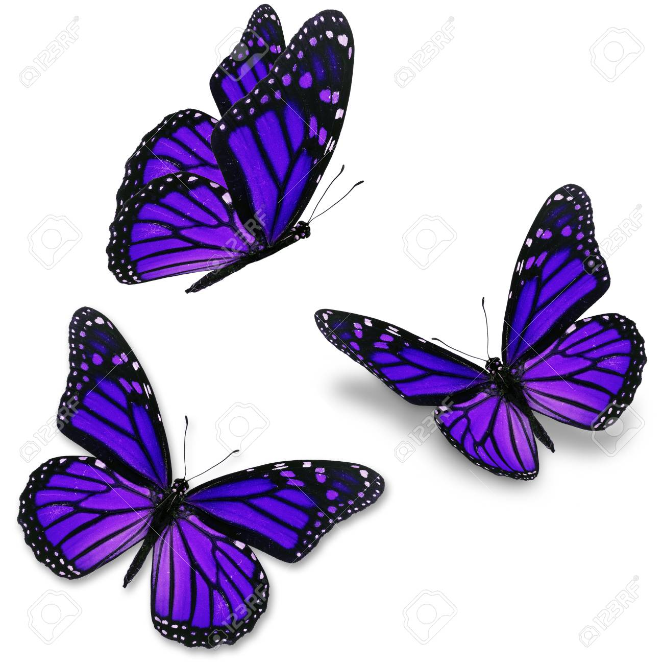 Three purple butterfly, isolated on white background - 36579705