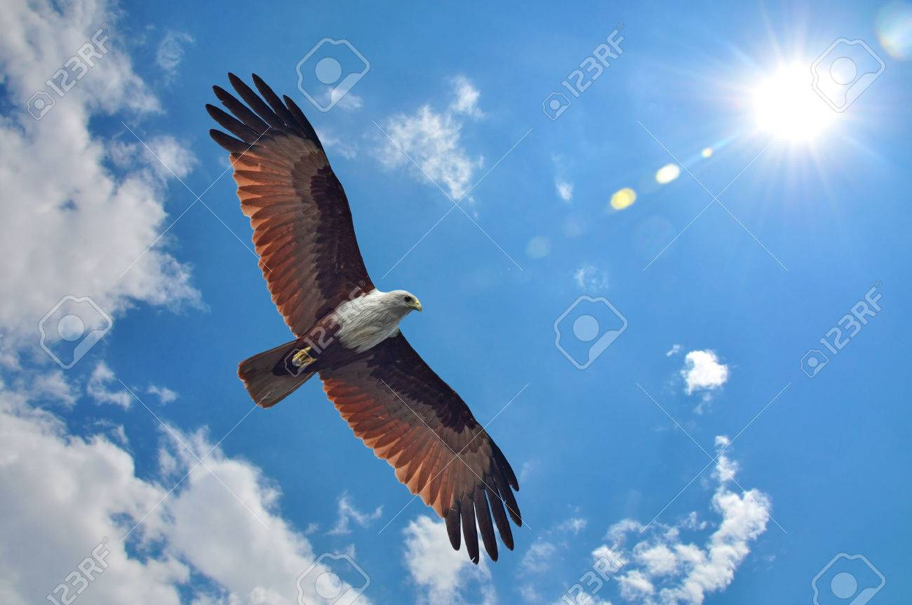 Brahminy Kite showing wing spread on sky and sun background - 37161441
