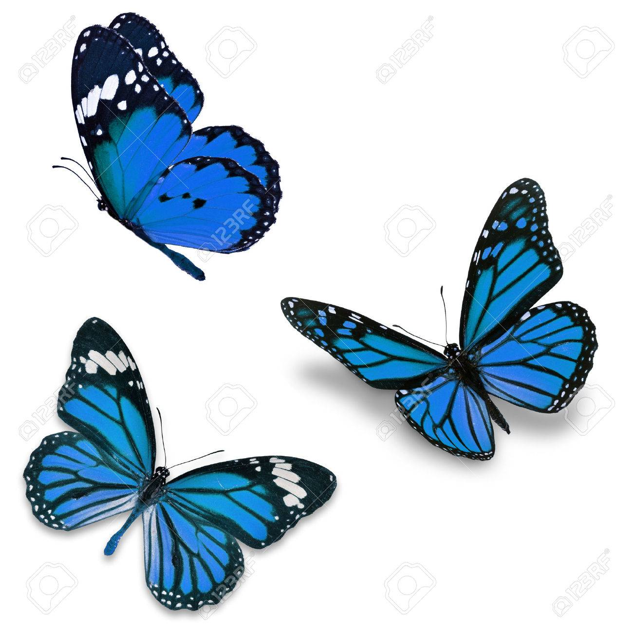 Three blue butterfly, isolated on white background - 39084932
