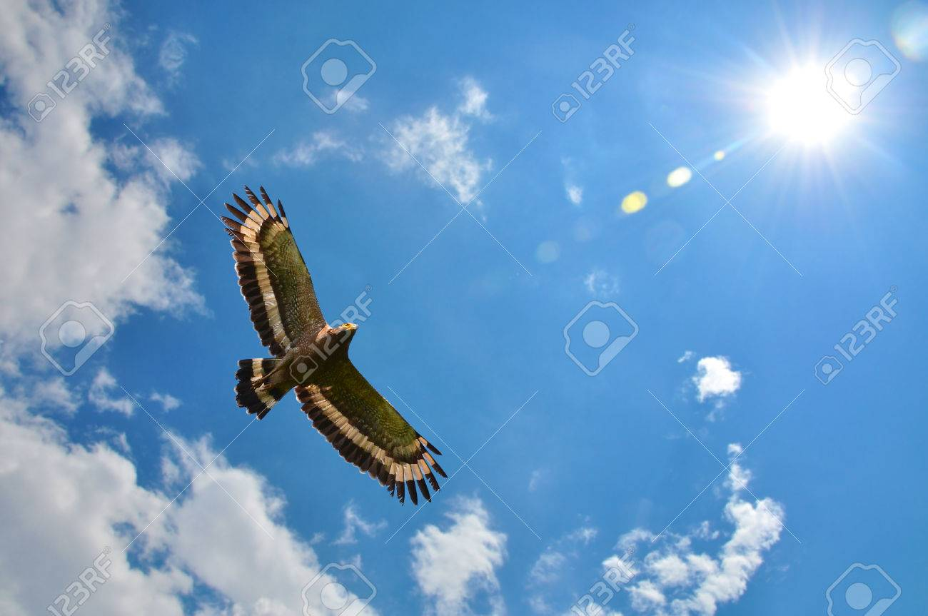 Crested serpent-eagle (Spilornis cheela) showing wing spread on sky and sun background - 40372102