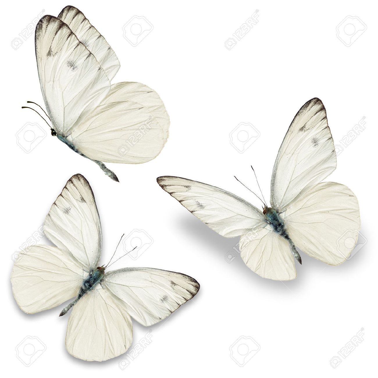 Three white butterfly, isolated on white background - 40372307