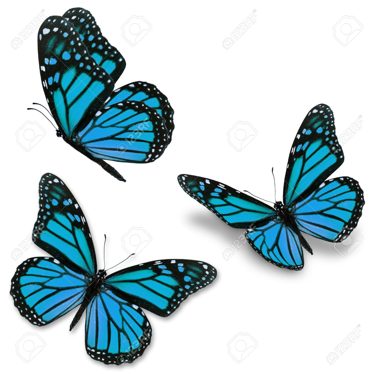 three blue monarch butterfly isolated on white background stock