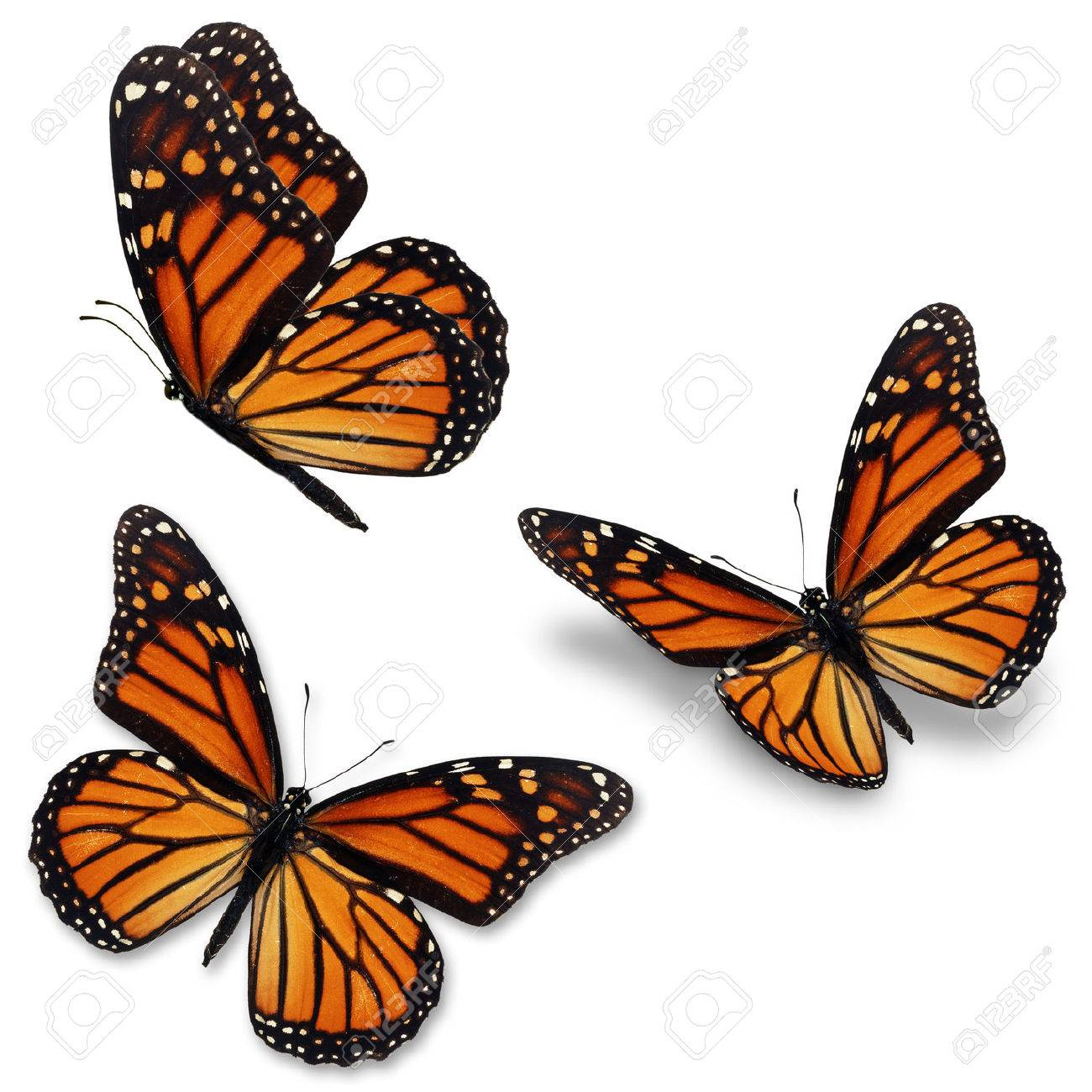 Three monarch butterfly, isolated on white background - 43190021