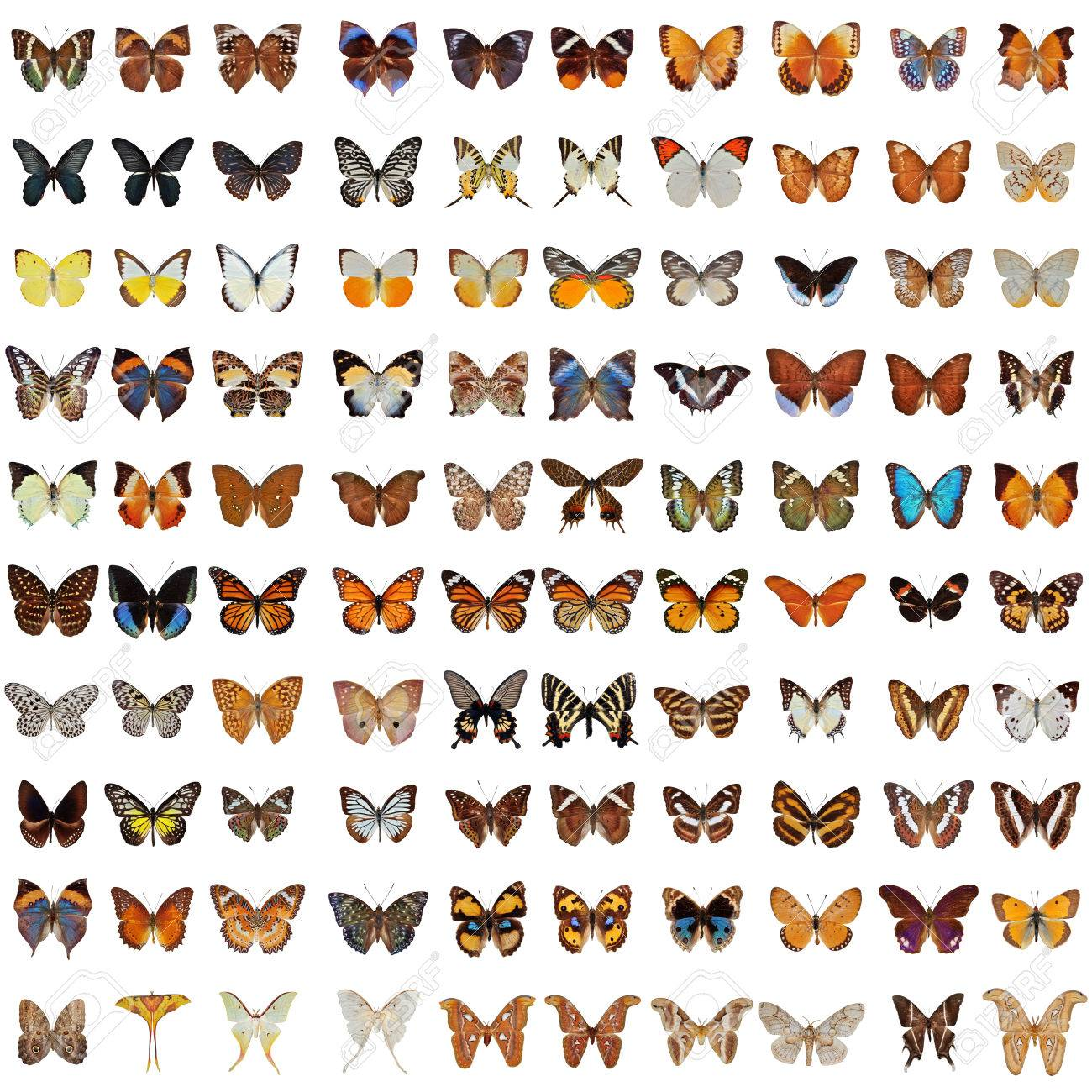 Collection of 100 butterfly and moth isolated on white background - 48563039