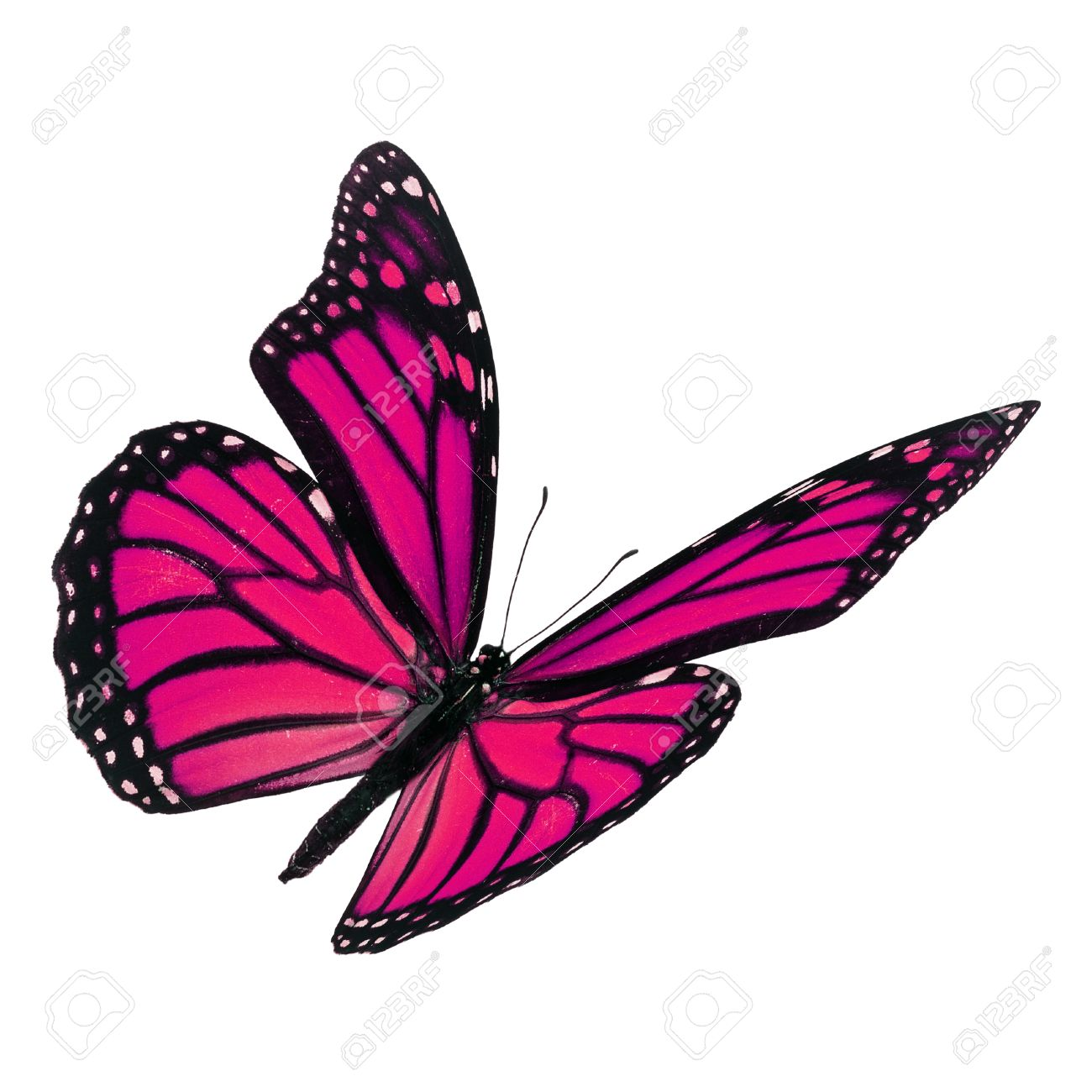 Beautiful pink monarch butterfly flying isolated on white background - 50362660