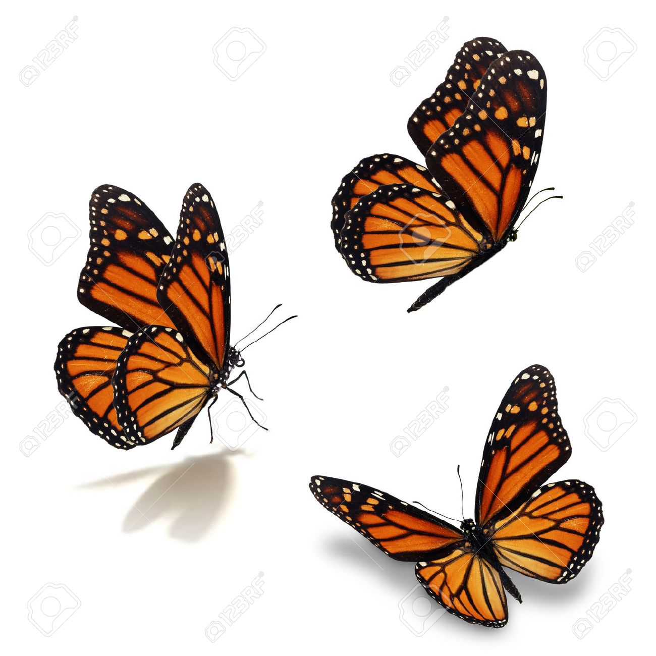 Beautiful three monarch butterfly, isolated on white background - 53632231