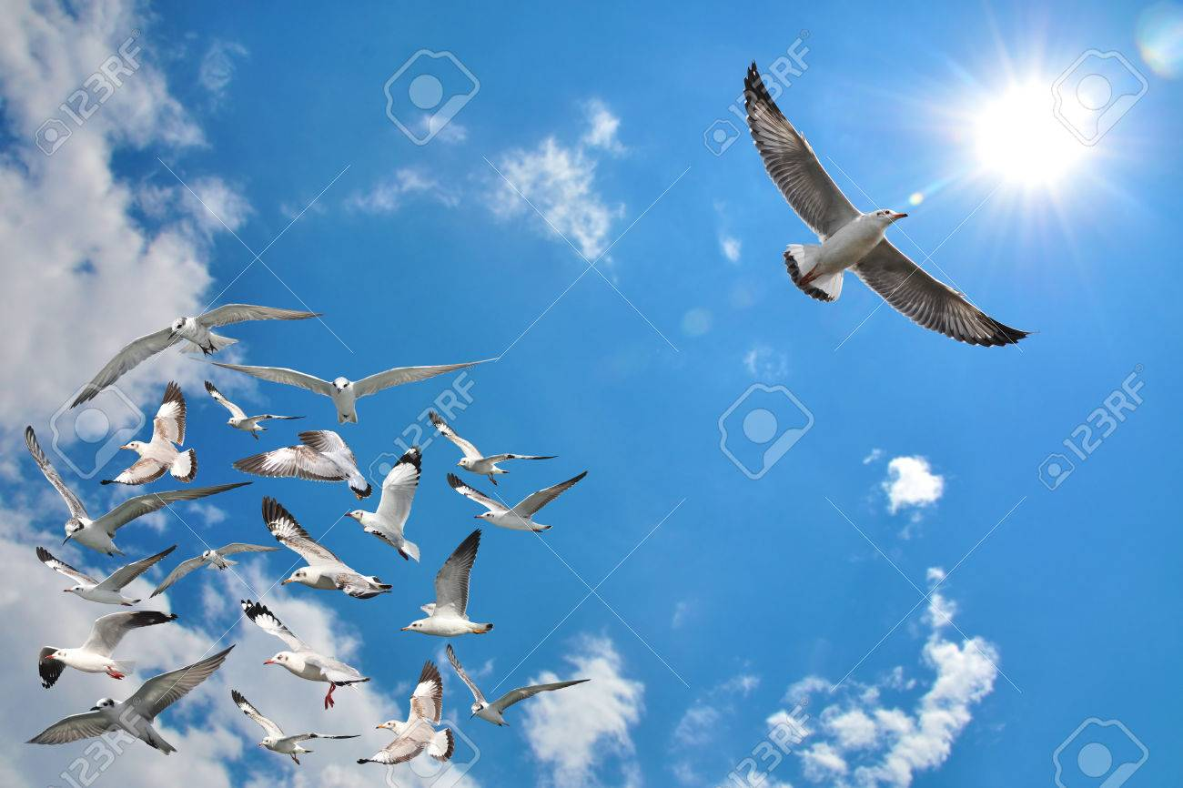 a group of flying seagull birds with one individual bird going in the opposite direction with blue sky background. - 62481438