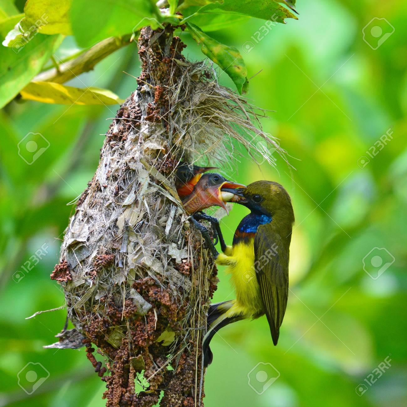 63755797-beautiful-bird-male-of-olive-ba