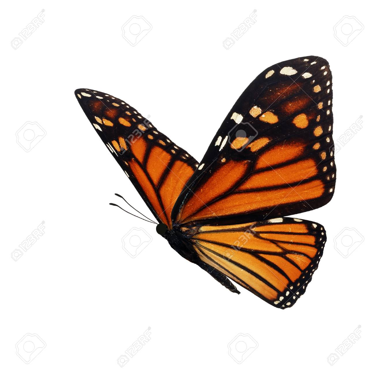Beautiful monarch butterfly isolated on white background. - 91200165
