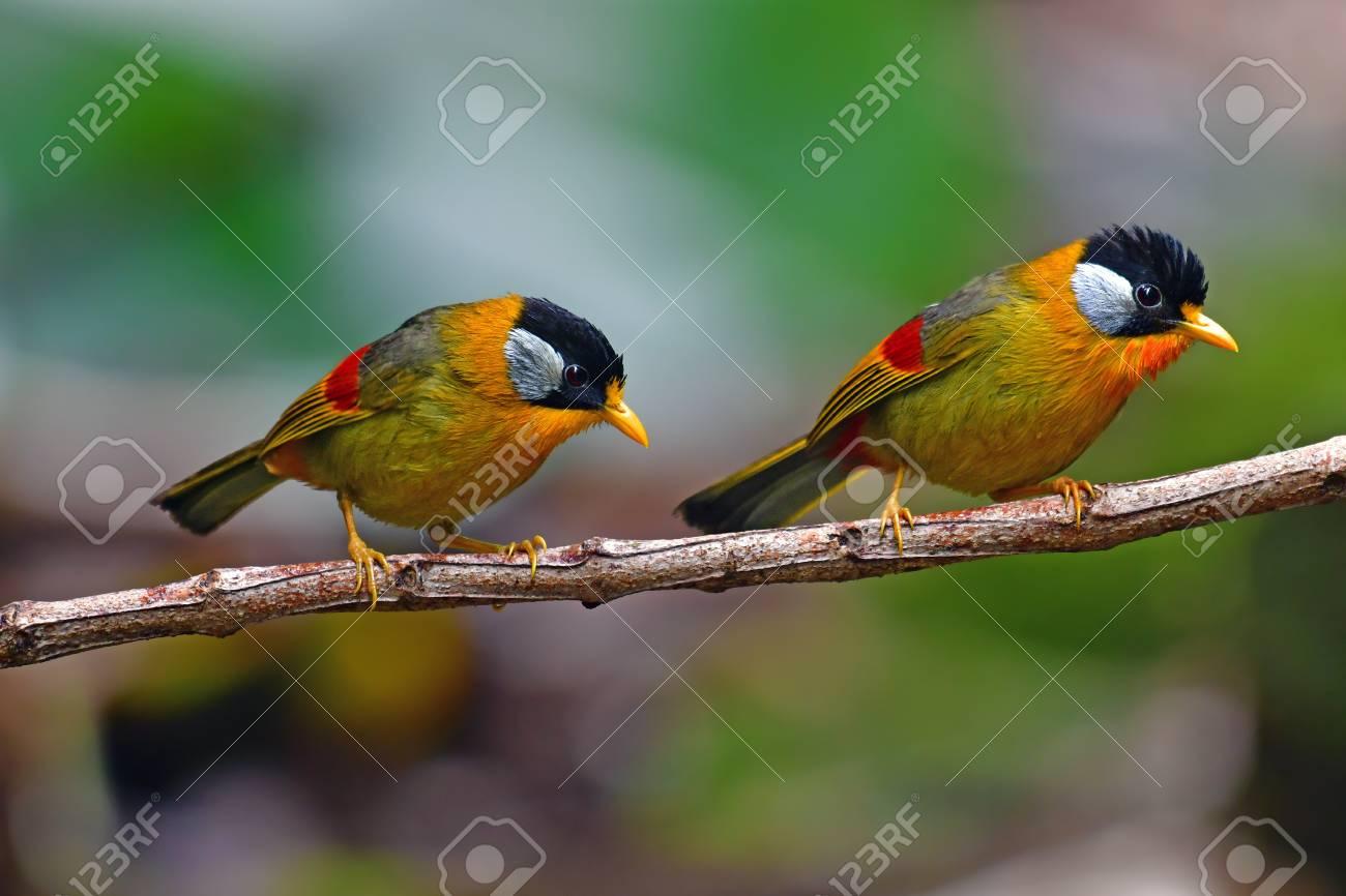 Beautiful golden bird, Couple of Silver-eared Mesia (Leiothrix argentauris) in Doi Phu Kha National Park, Thailand - 100754217