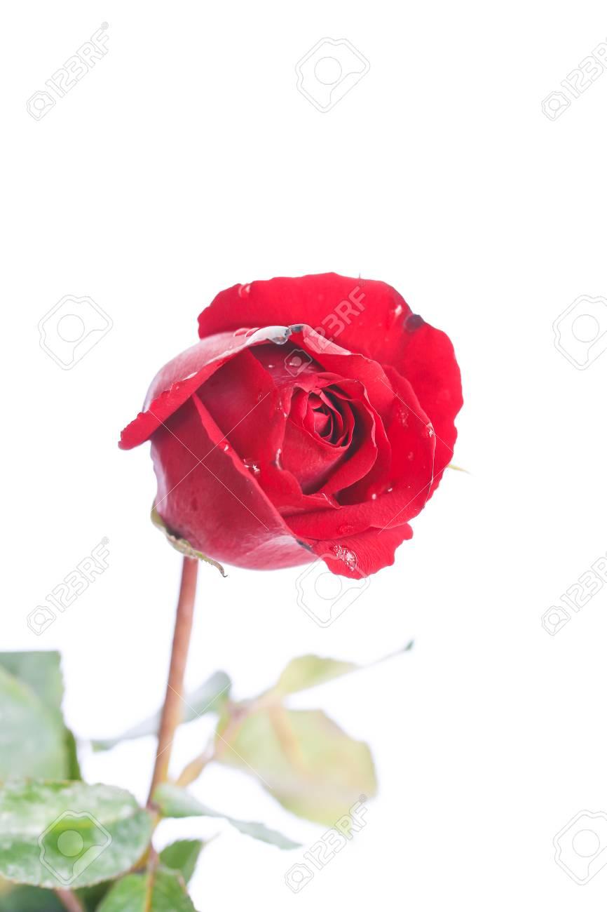 Immagini Stock Rosa Rossa Su Sfondo Bianco Image 36832711