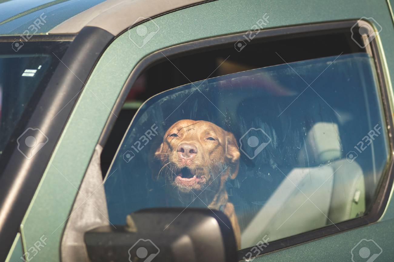 Brown pet dog sitting inside a vehicle gazing out of a window. - 77306062