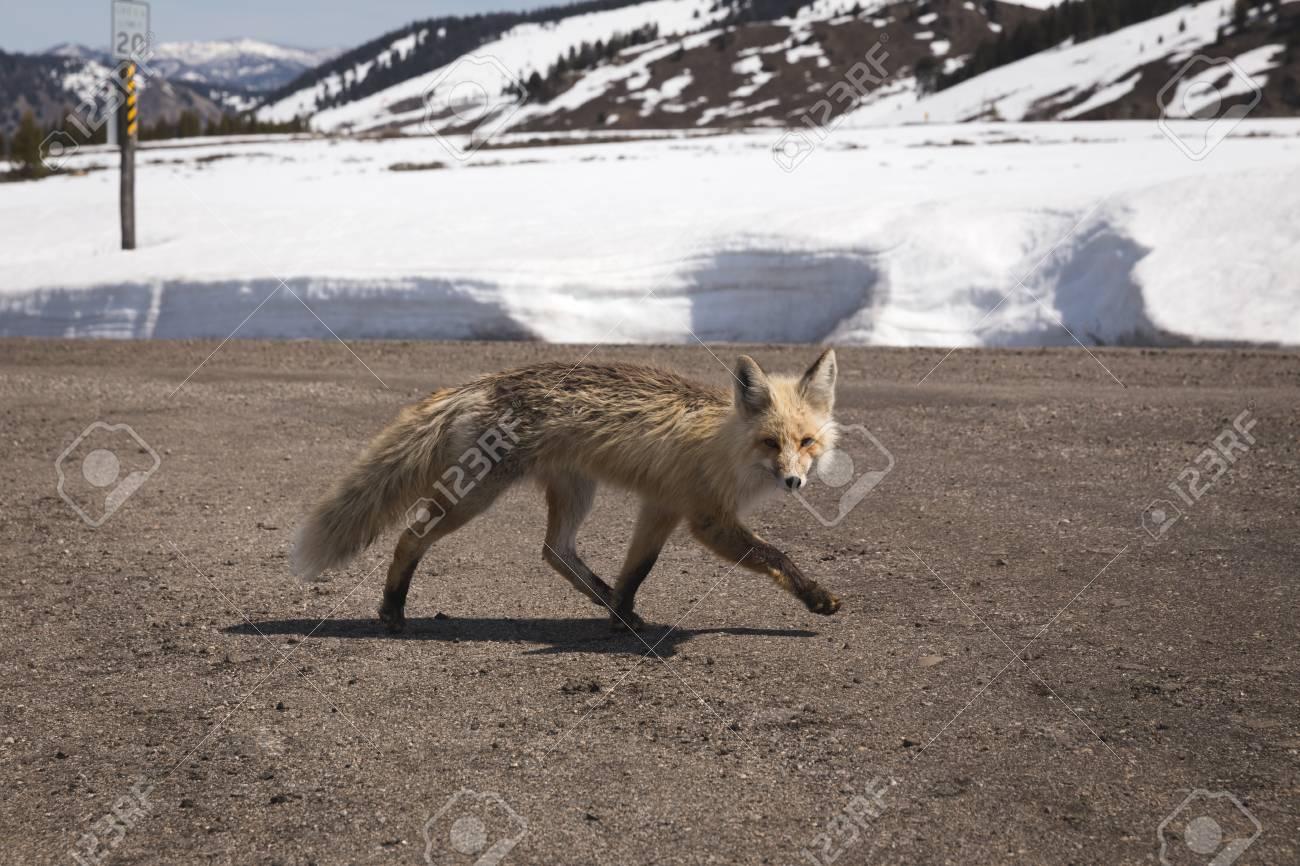 Wild Fox Runs Across A Dirt Road In A Snowy Winter Landscape
