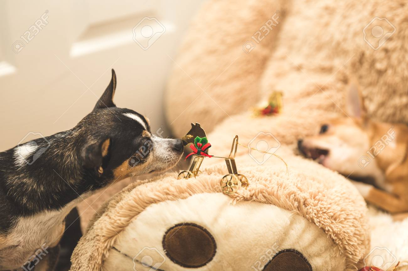 Black Chihuahua Dog Staring At And Sniffing A Christmas Ornament
