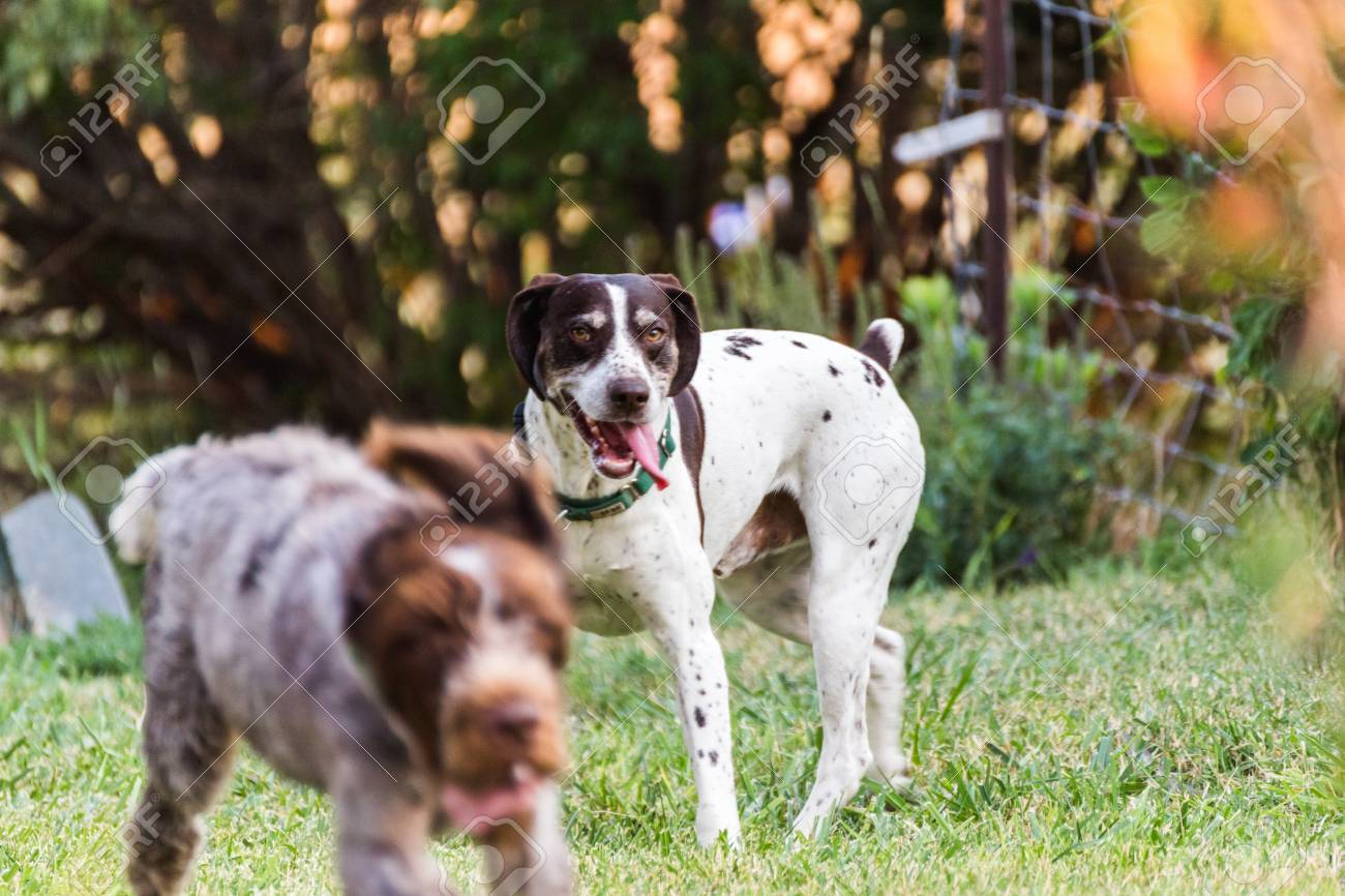 German Shorthaired Pointer Standing On Grass With Tongue Out.. Stock ...