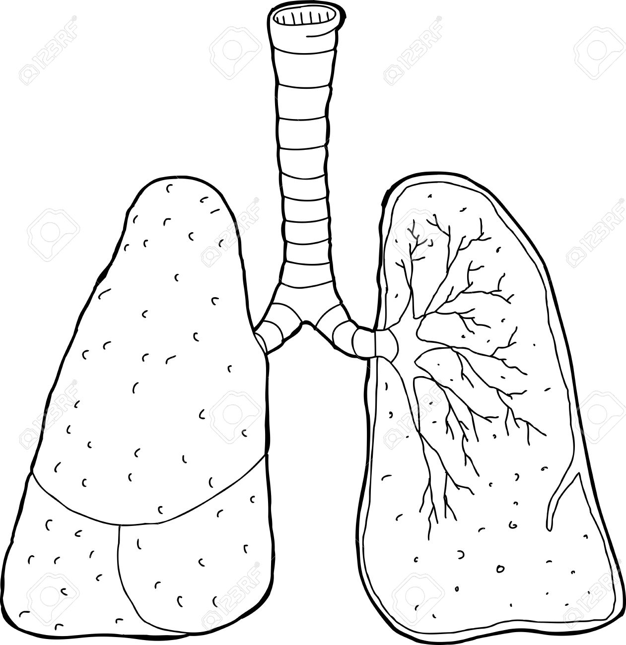 Cross section drawing of human lungs and trachea royalty free cross section drawing of human lungs and trachea ccuart Images