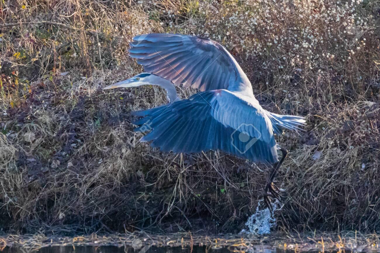 A Great Blue Heron taking flight in Vian Oklahoma - 137116846