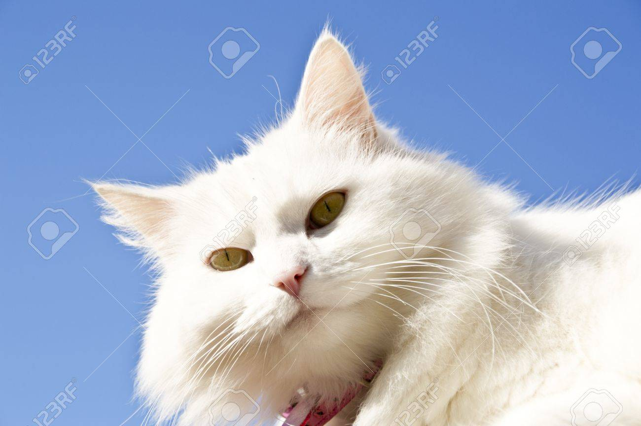 fluffy female cat with pink collar Stock Photo - 16313627
