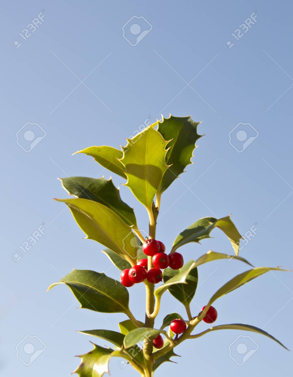 berries on holly, isolated against blue sky Stock Photo - 16313623