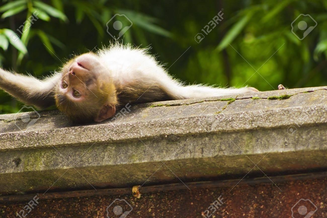 A monkey sunbathing on a wall Stock Photo - 13851147