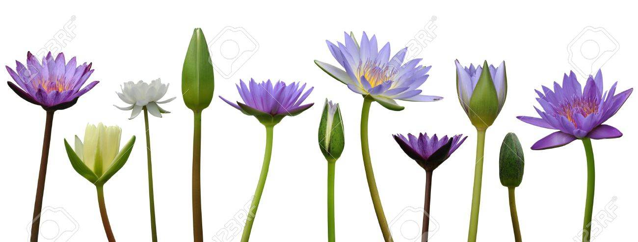 Lotus flower on white background Stock Photo - 14064398