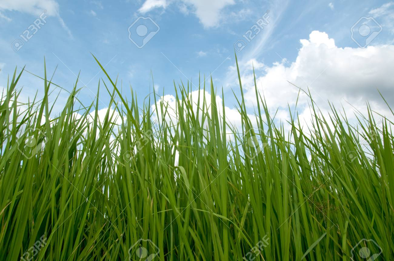 Leaves of crops and cloudy sky Stock Photo - 16283812
