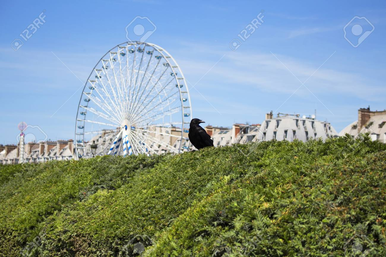 Close Up View Of Crow On Top Of Bushes At Jardin Des Tuileries