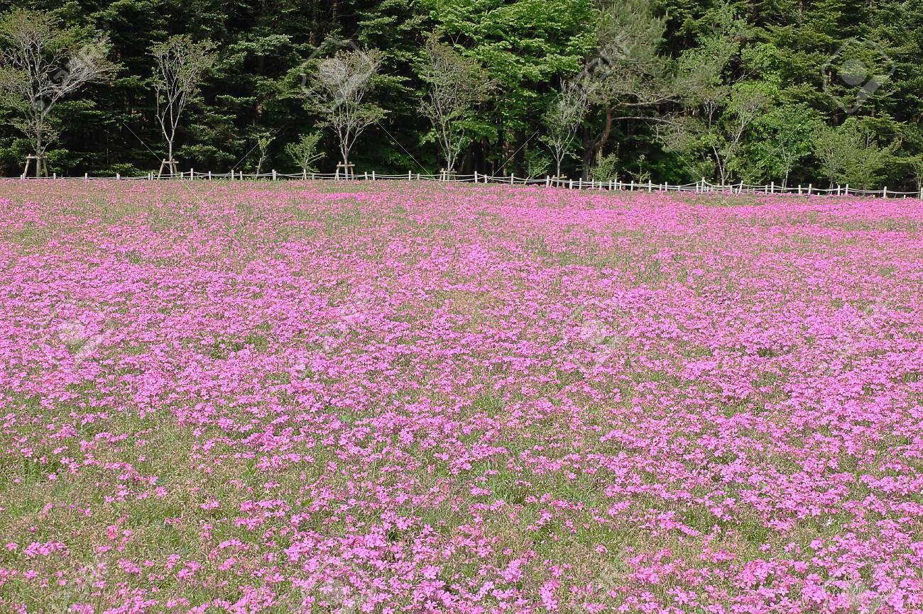 Shibazakura Pink Moss Kawaguchiko At Yamanashi Pink Moss Phlox