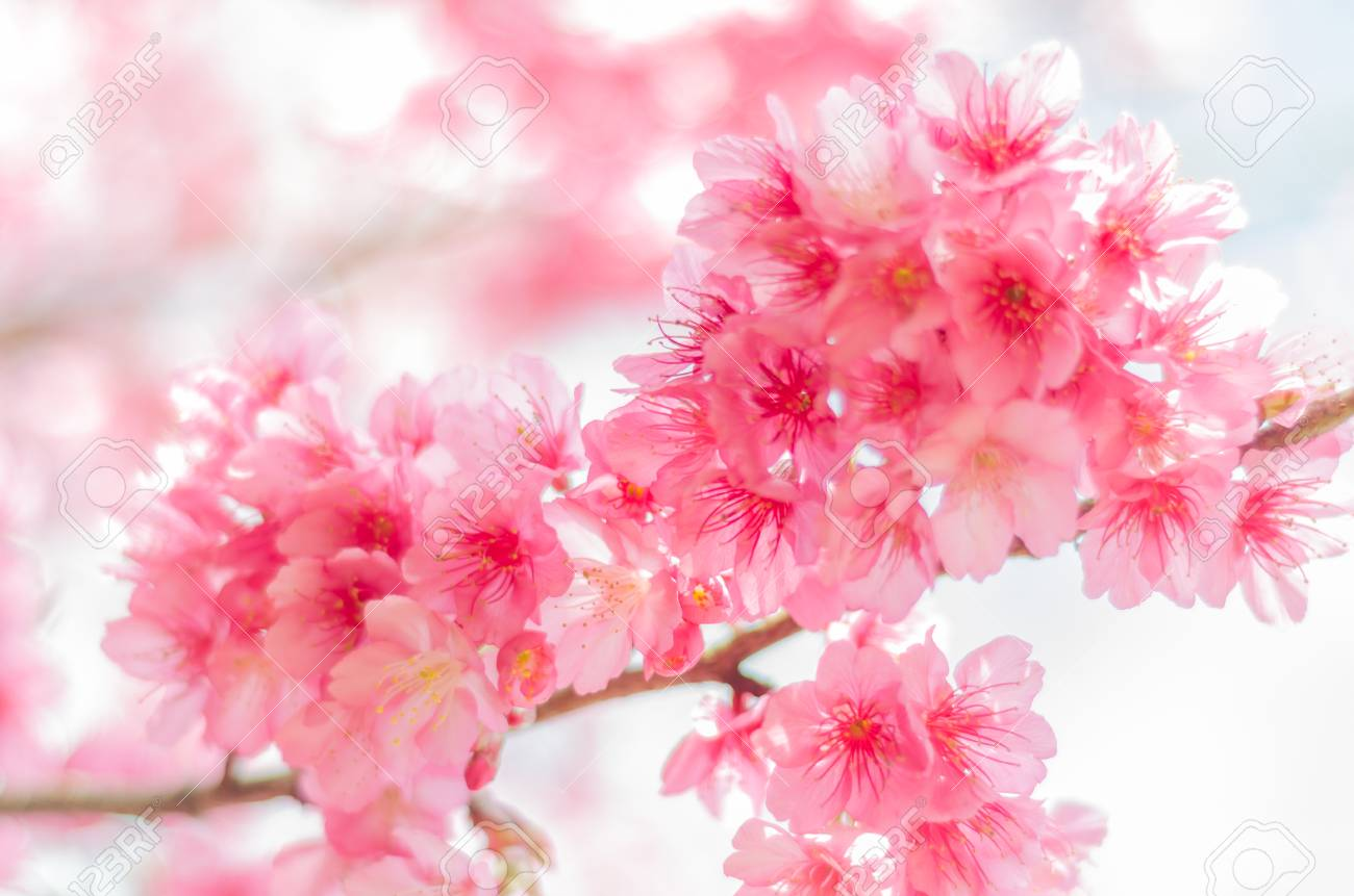 Pink Sakura Flower Cherry Blossom Stock Photo Picture And Royalty