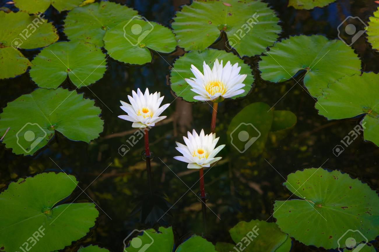 Beautiful Group Of White Lotus Flower With Leaves In Pool On Stock