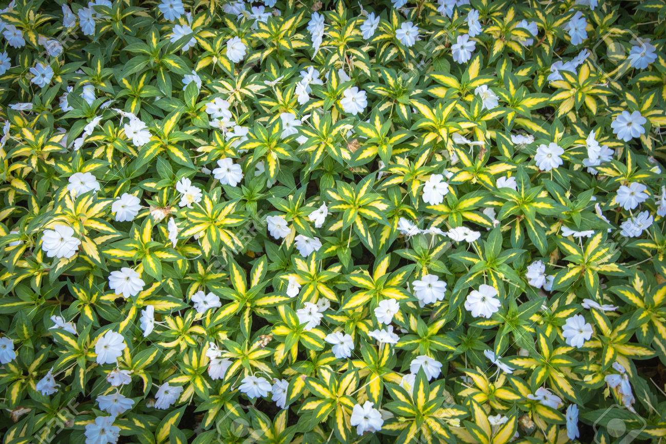 Top view of green grass with small white flowers background texture stock photo top view of green grass with small white flowers background texture mightylinksfo