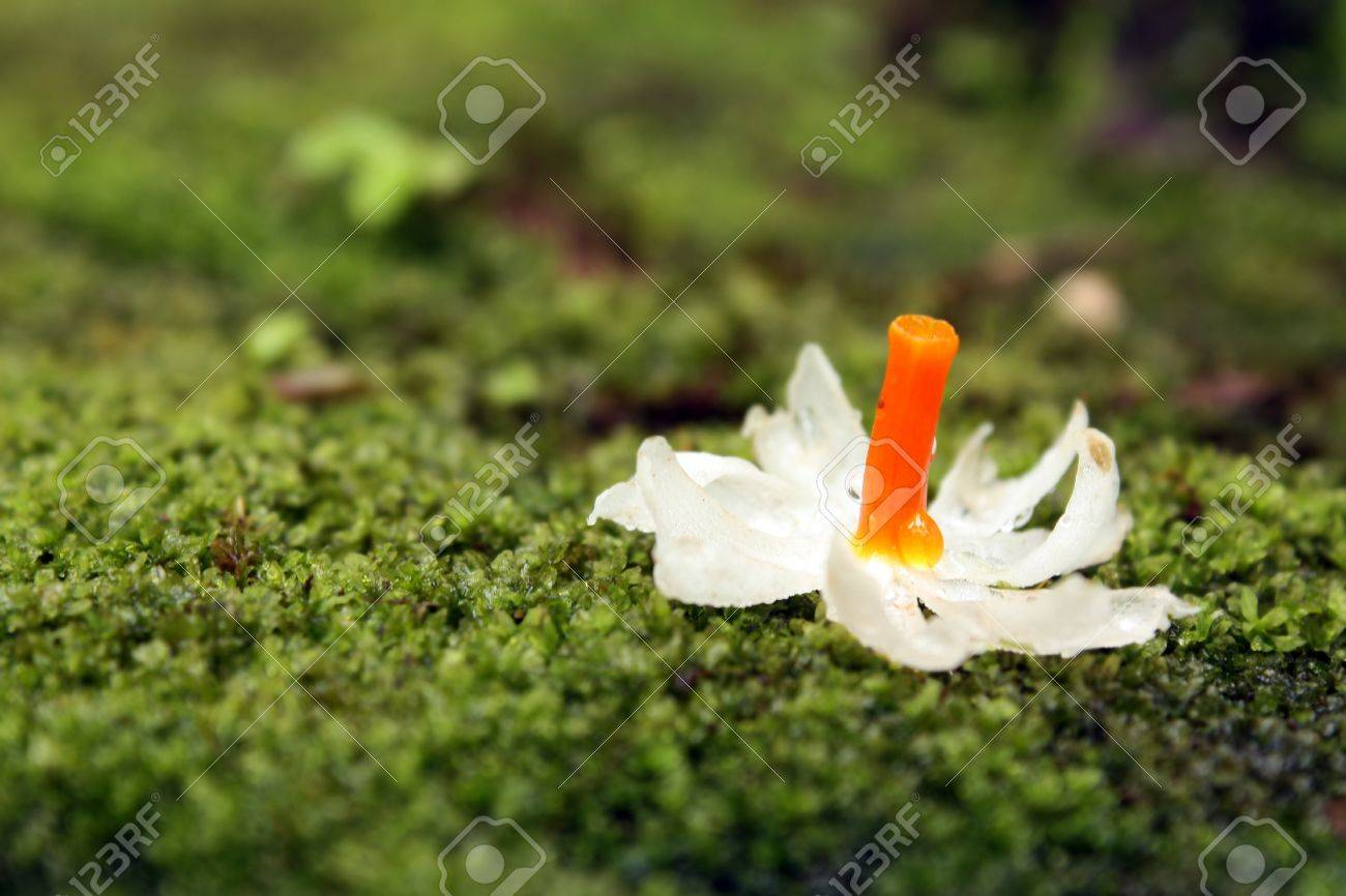 A white flower called nyctanthes a night flowering jasmine lying on a white flower called nyctanthes a night flowering jasmine lying on a moss dripping in the izmirmasajfo