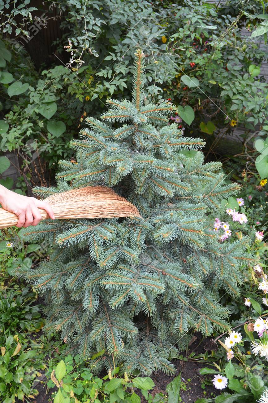 Get Rid Of Spider Mites In Pine Trees With Broom Spiders Web
