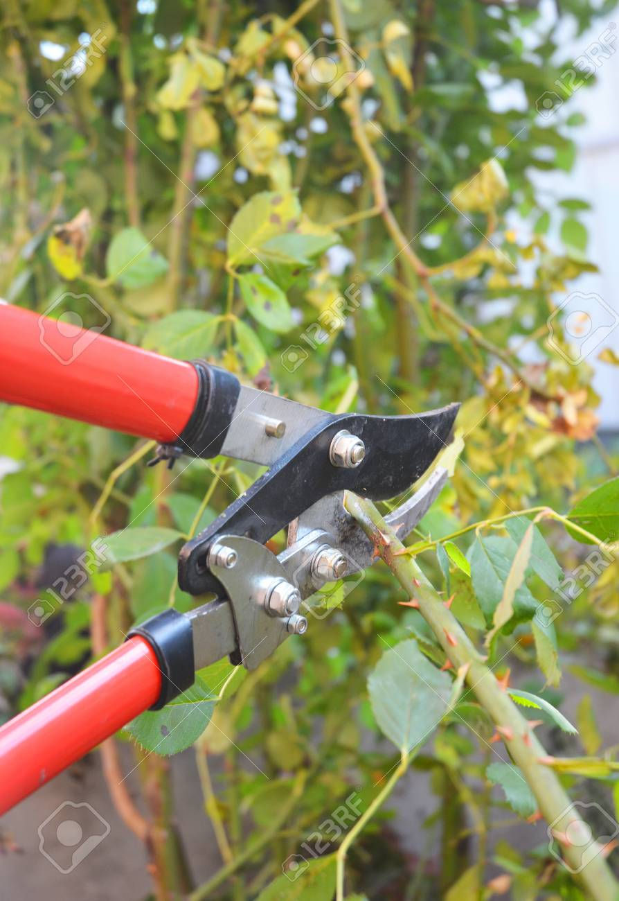 Rose Pruning In Late Autumn Prune Climbing Roses How To Prune