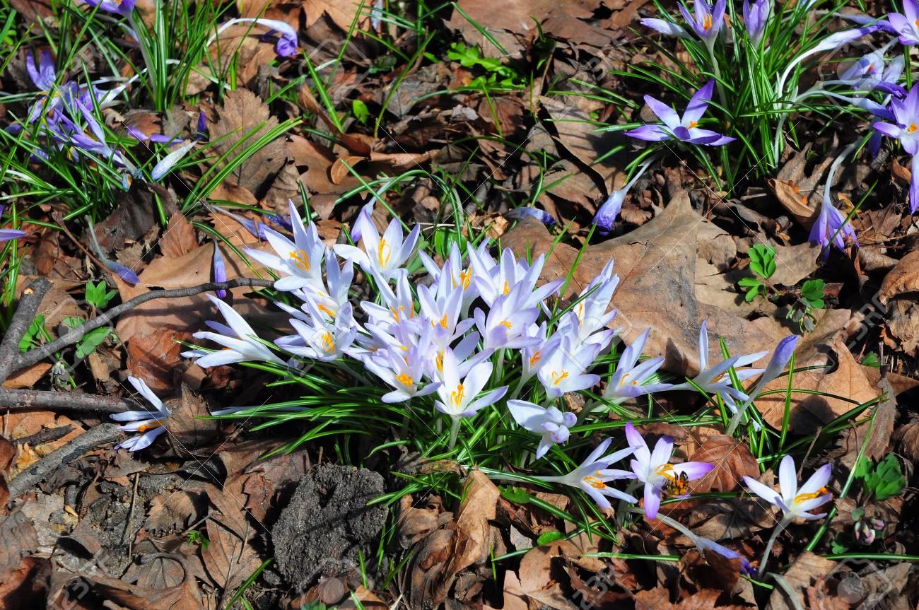 Wild Forest Spring Flowers Purple Crocus Flowers Saffron In Stock