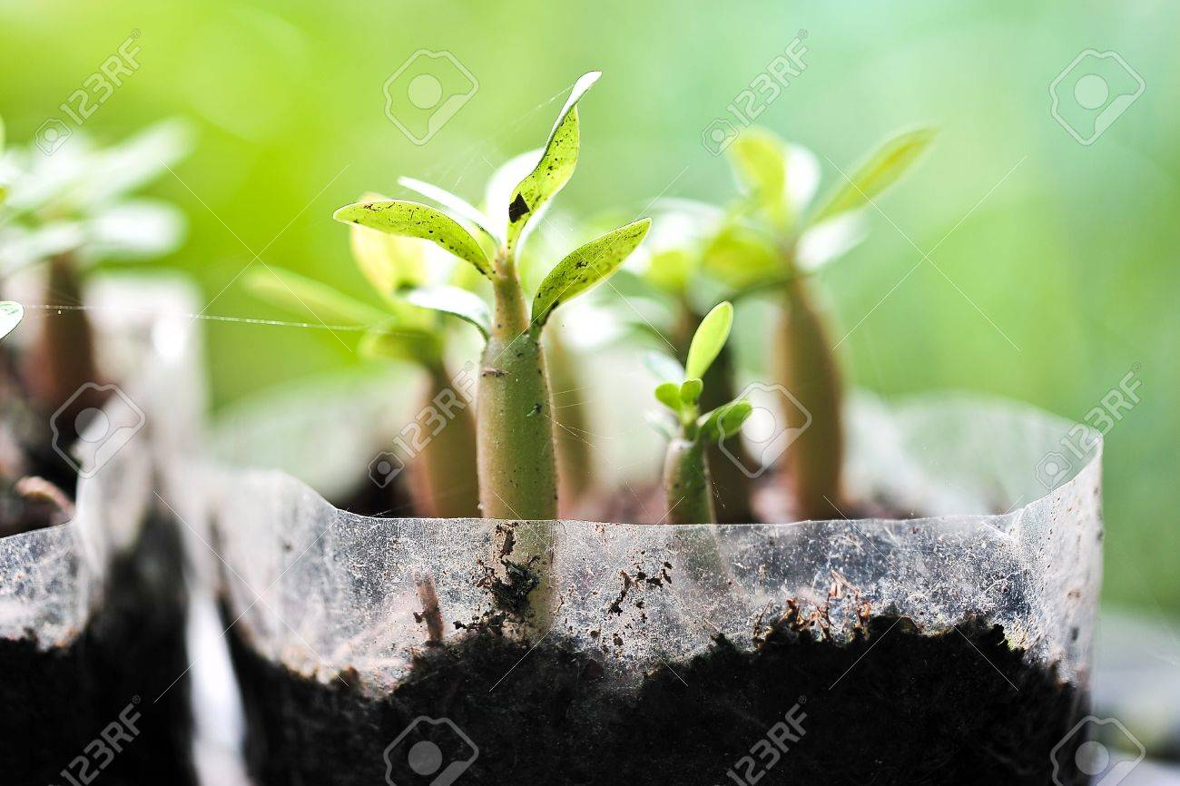 Young Adenium Obesum Stock Photo - 15966212