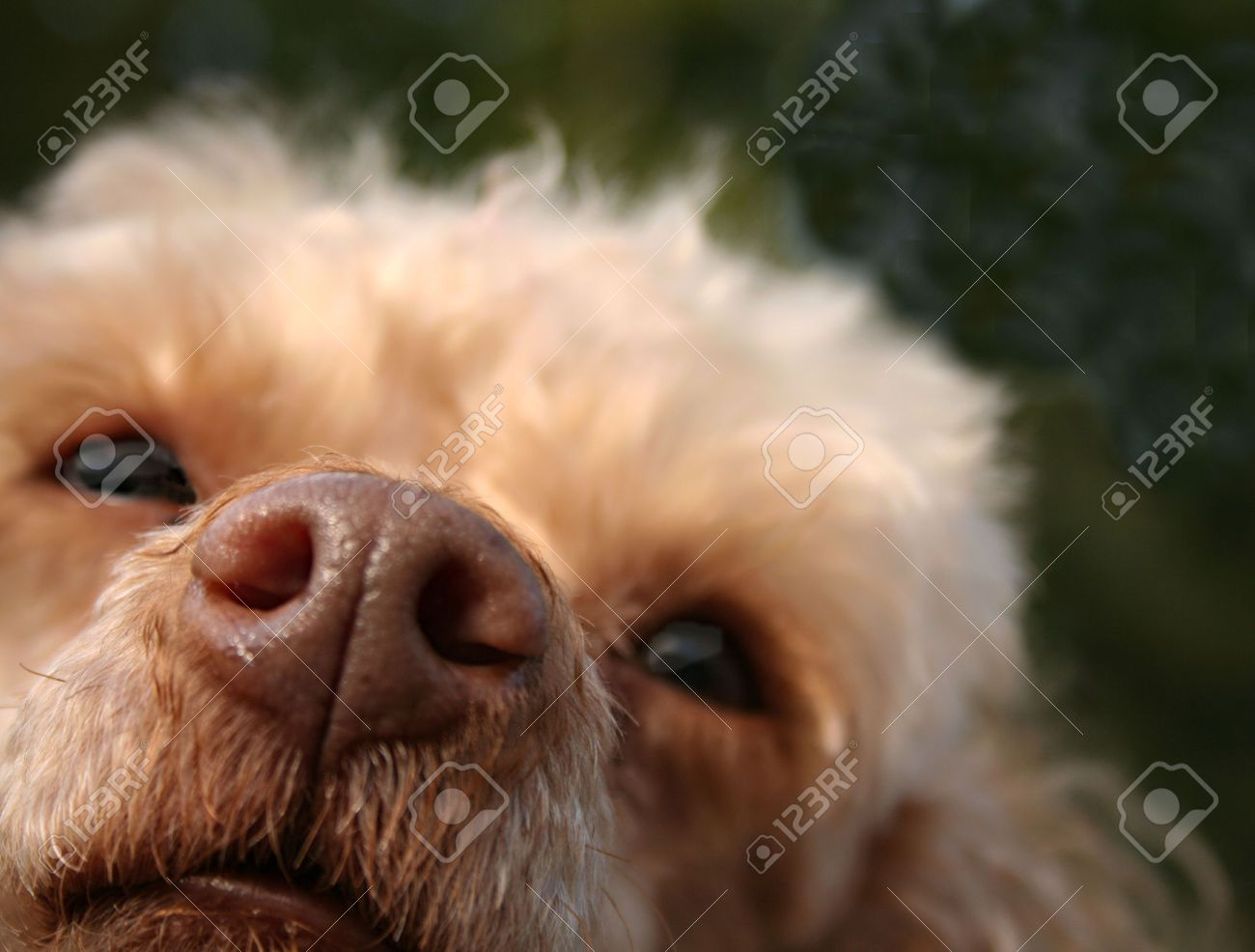 Close up of a nose of a mini poodle Stock Photo - 2613021