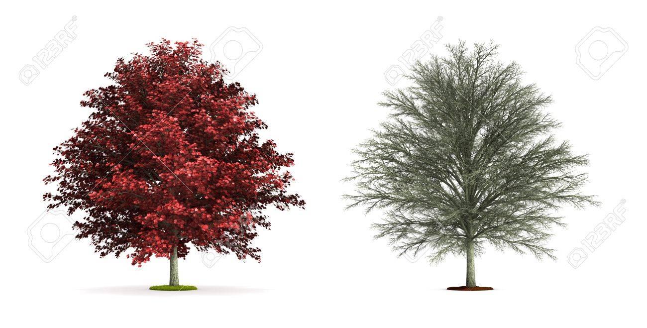 Red Maple Tree Hoge Resolutie 3d Illustratie Geïsoleerd Op Wit