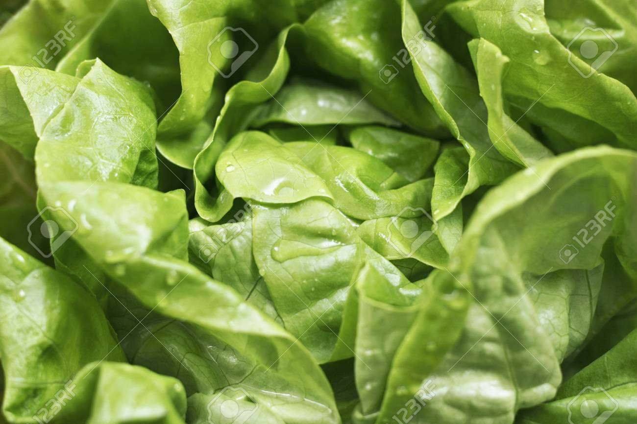 Close up of green fresh lettuce leaves with water drops for background Stock Photo - 9679324