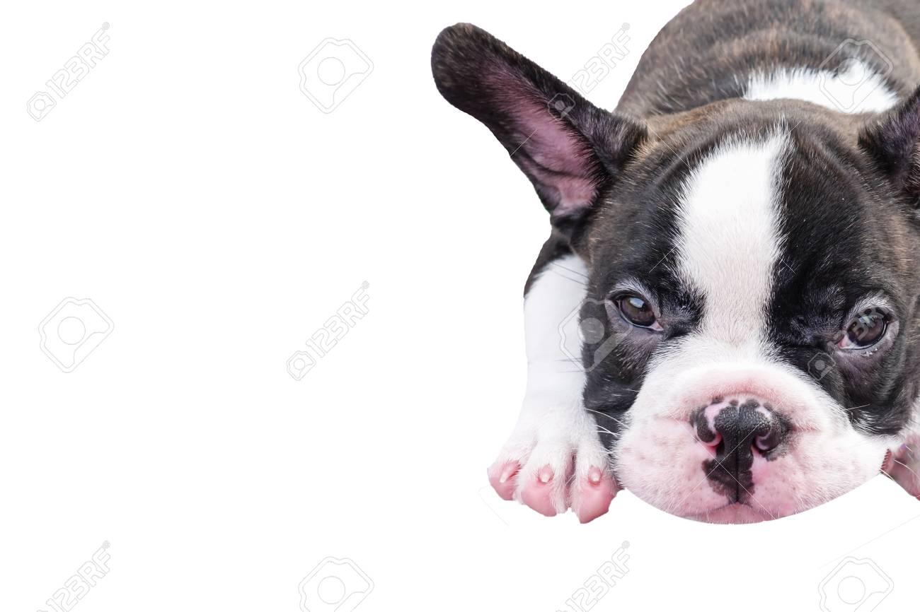 Cute Baby Bulldogcute French Bull Dog Sitting Isolated On White