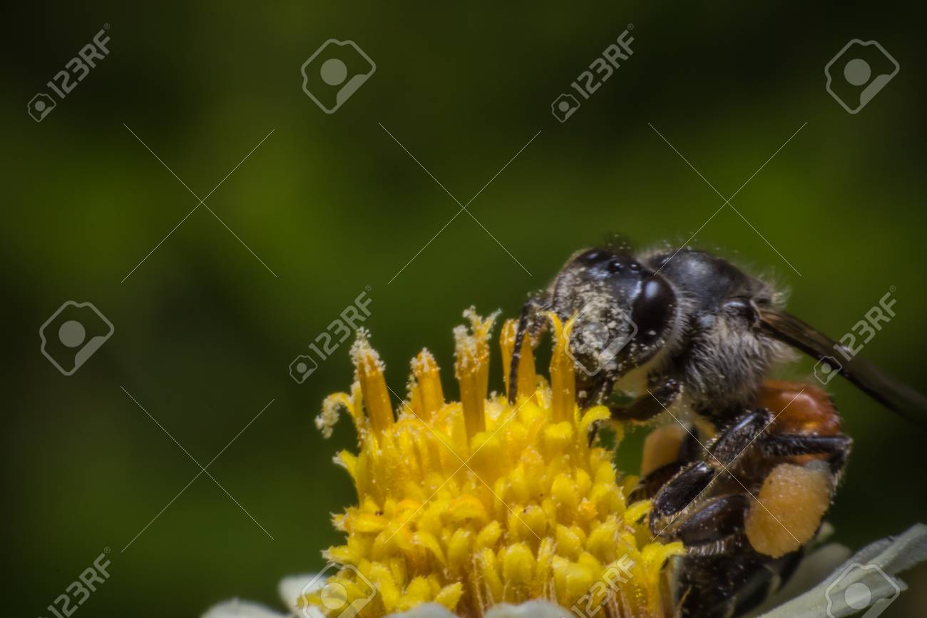 Honey bees pollinating clover on yellow flower macro view stock honey bees pollinating clover on yellow flower macro view stock photo 77334931 mightylinksfo