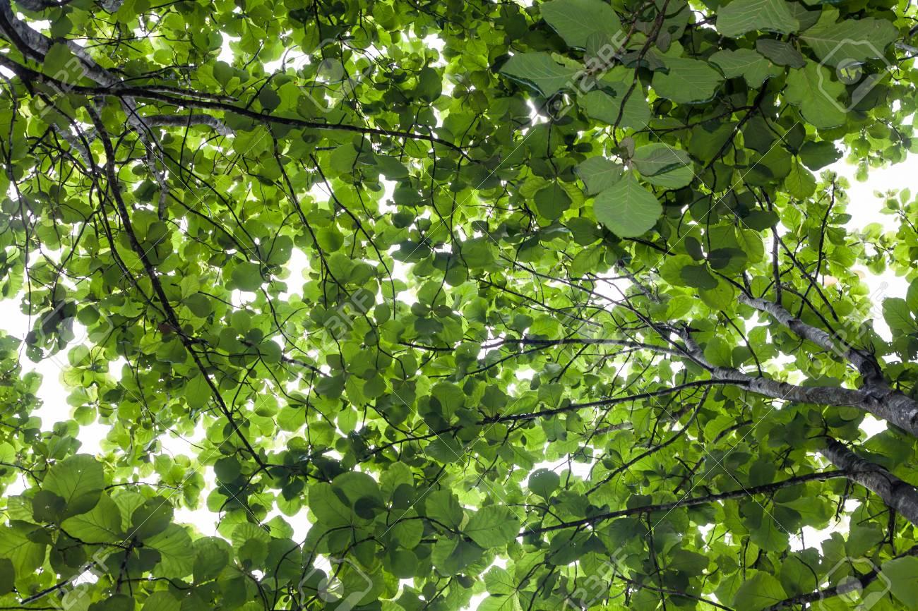 Teakbaum blatt  Big Teak-Baum, Grün Frisch Lizenzfreie Fotos, Bilder Und Stock ...