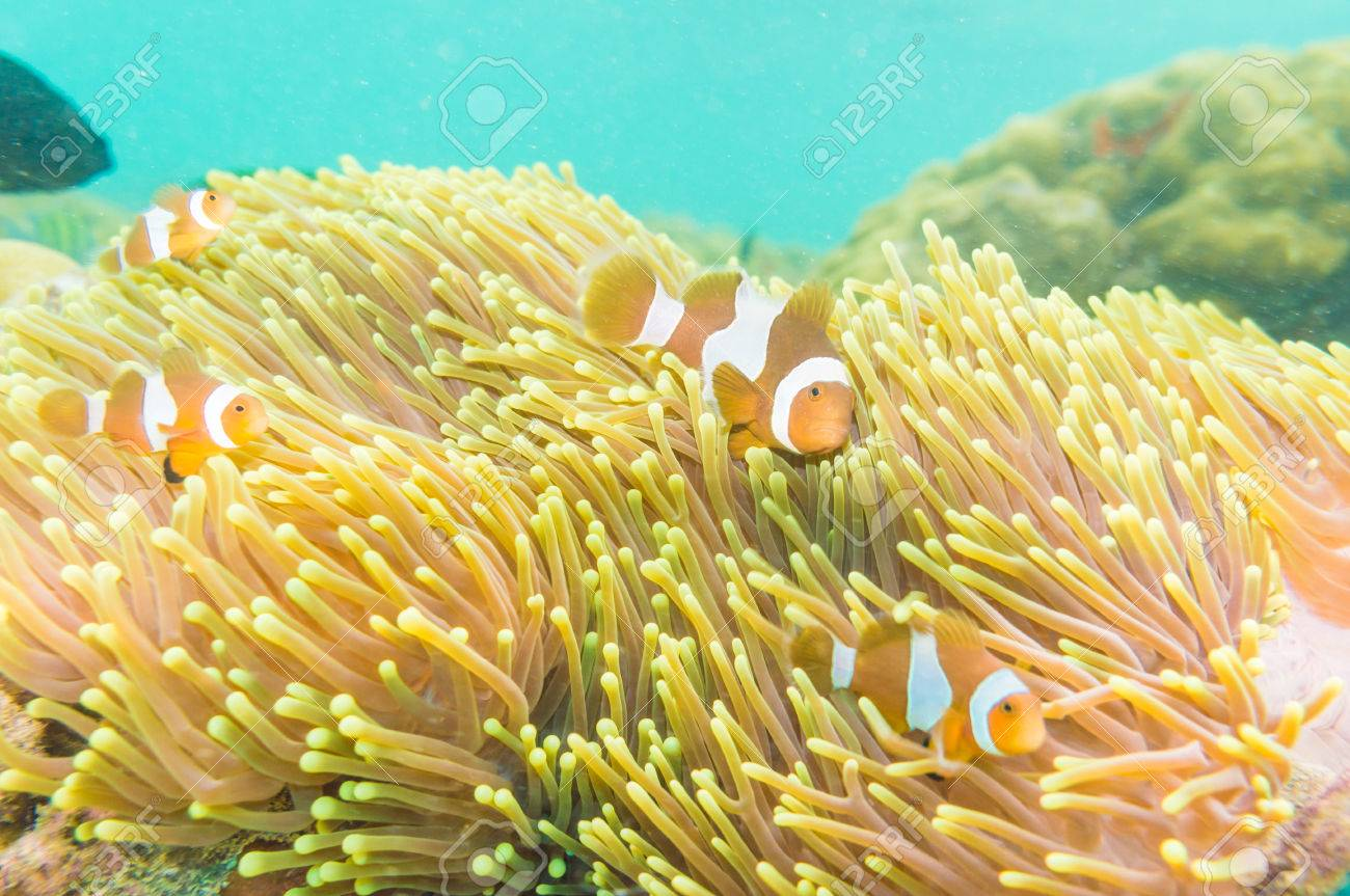 Clownfish Home | Clownfish Swimming In Tentacles Of Its Anemone Home Nemo Fish Stock