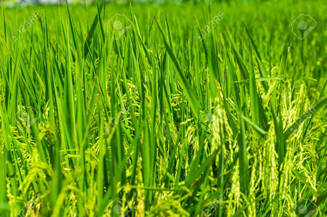 Rice Crop Growing On Plantation Close Up Agriculture Background Stock Photo Picture And Royalty Free Image Image 56910793