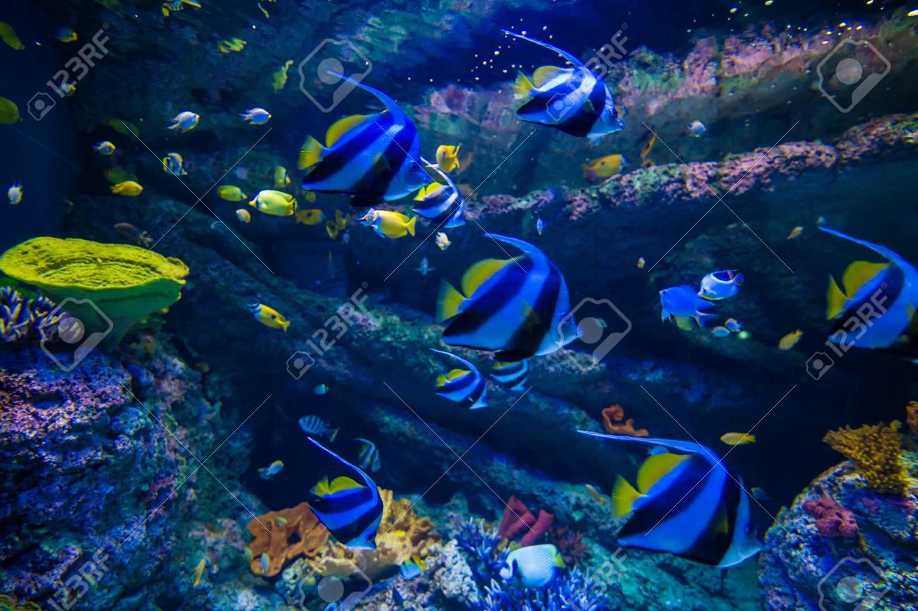 Underwater School Of Moorish Idol Colorful Butterfly Sea Fish