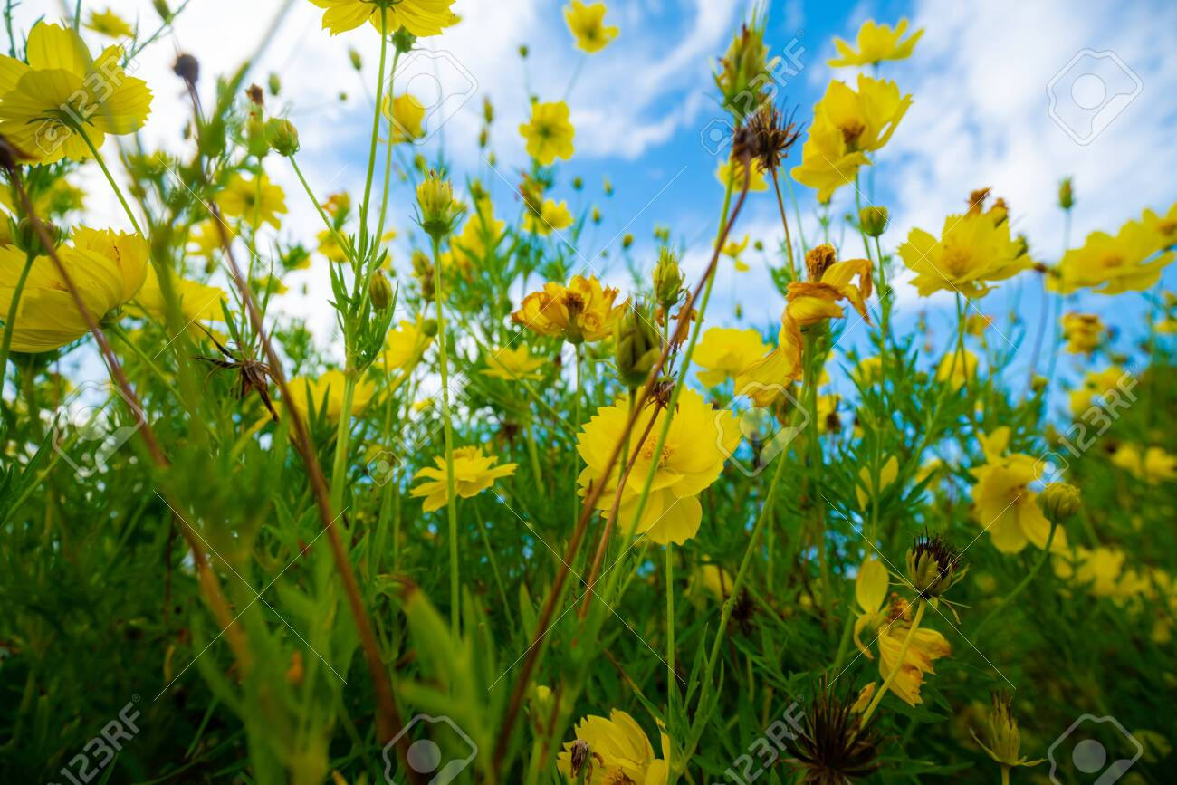 Yellow flower garden green leaf against blue sky with cloud in morning - 142066053