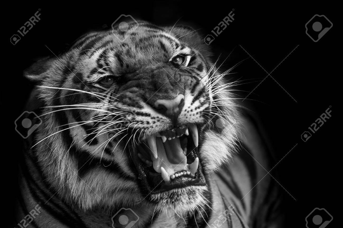 sumatran tiger roaring stock photo, picture and royalty free image