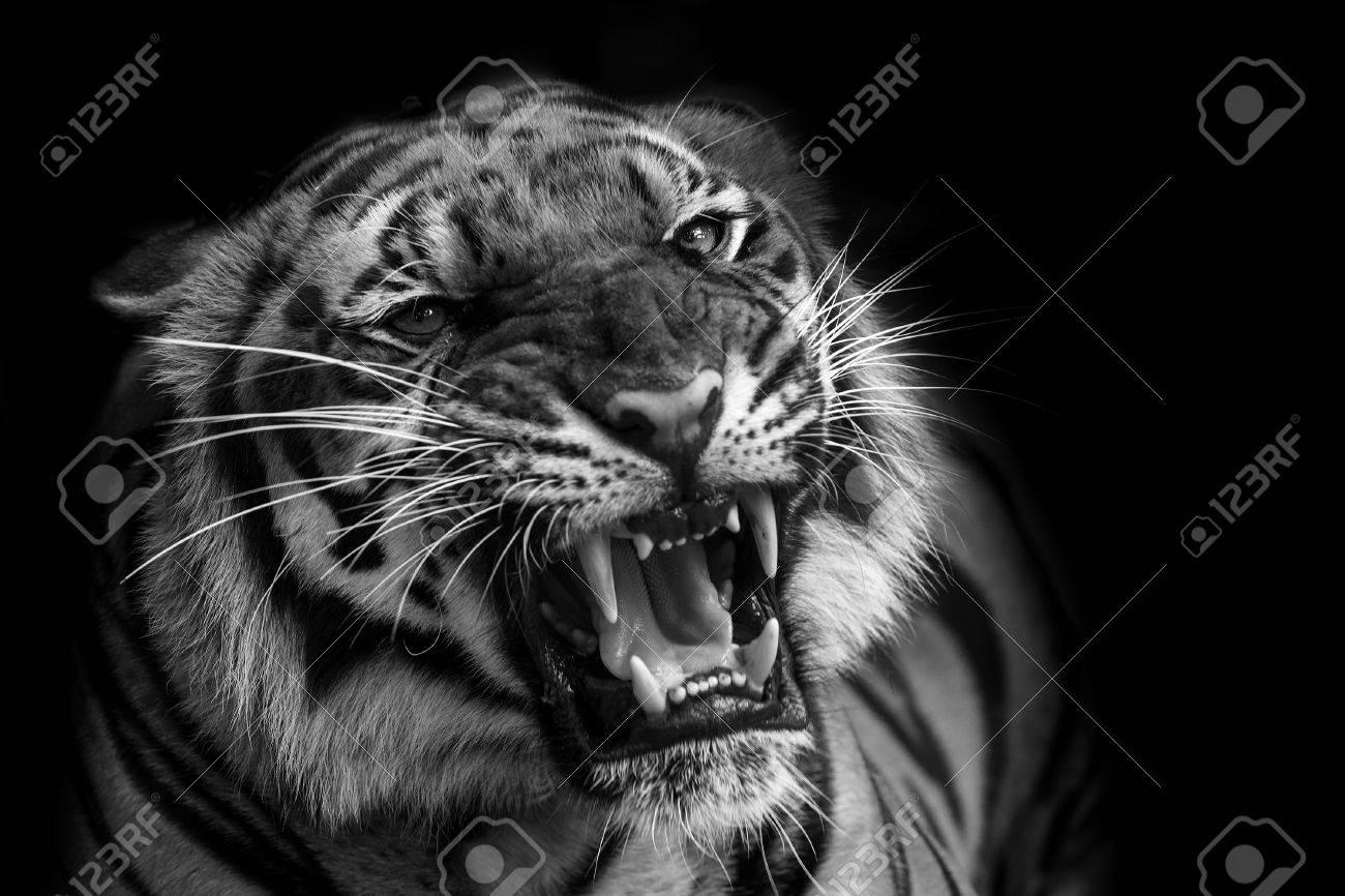 sumatran tiger roaring stock photo picture and royalty free image