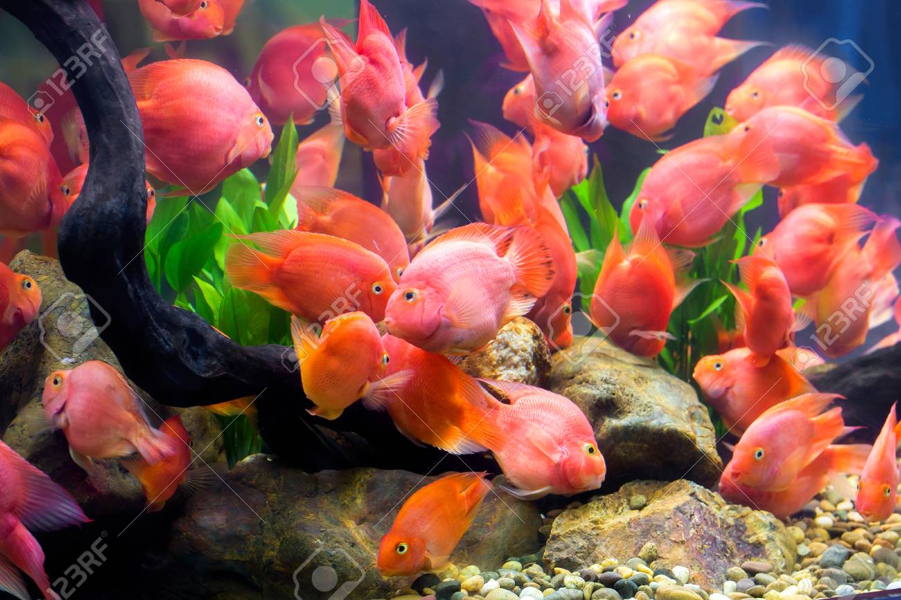 group of red parrot cichlid stock photo picture and royalty free